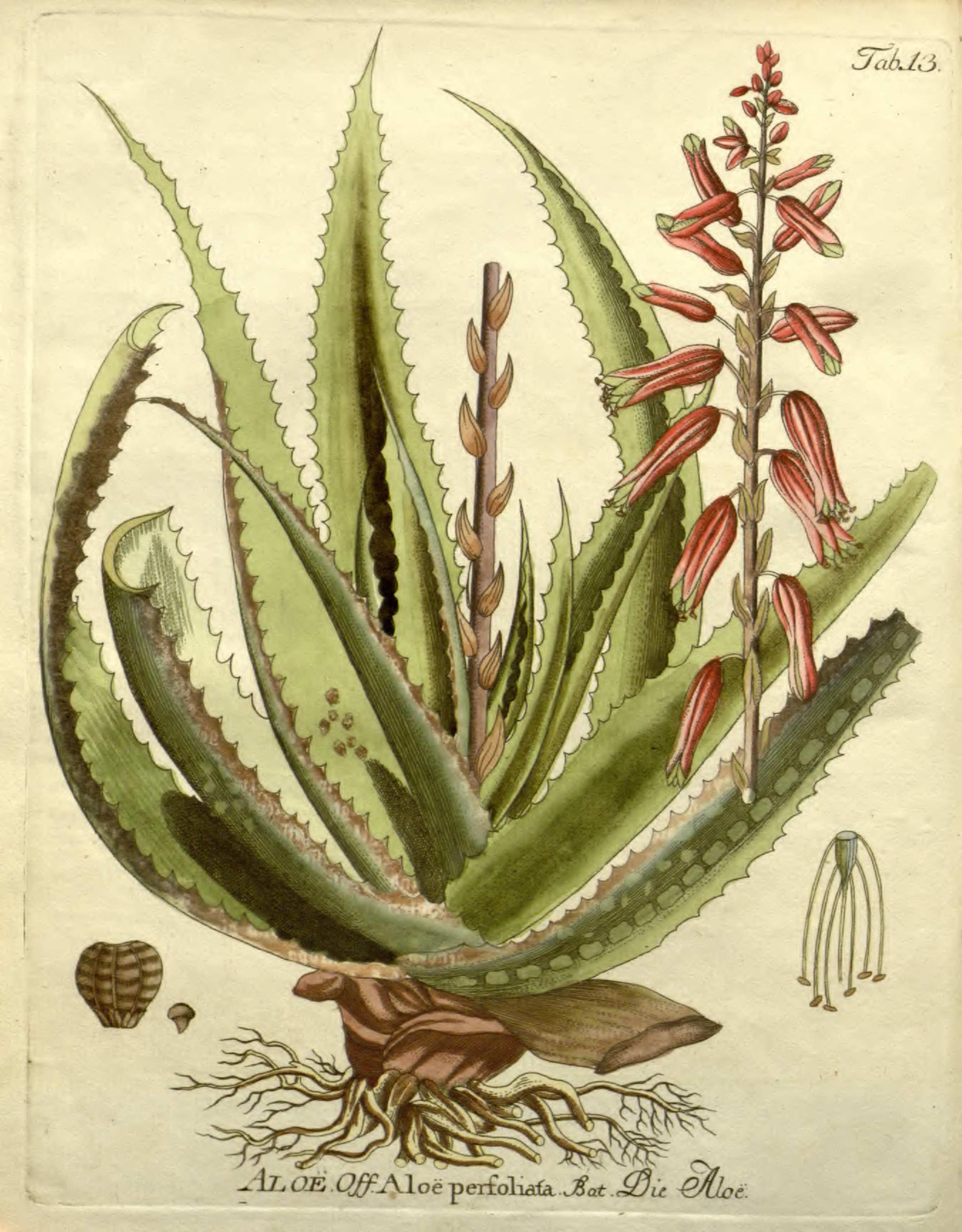 2475x3170 Aloe Perfoliata L.