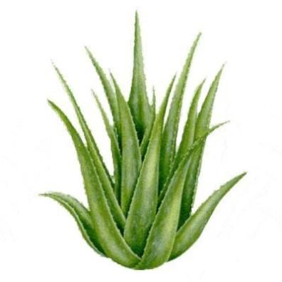 396x396 Benefit Of Aloe Vera
