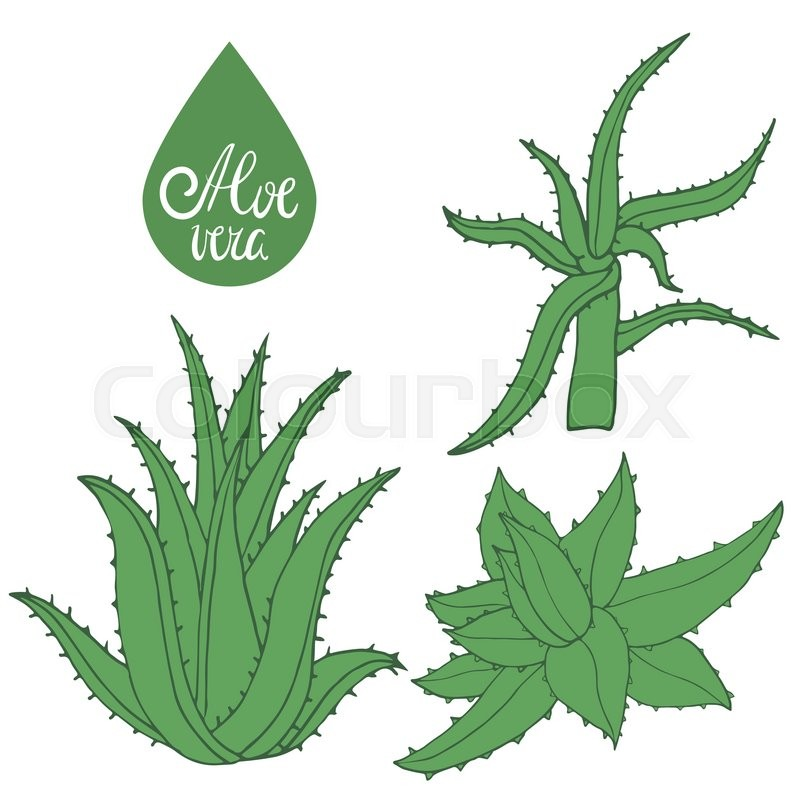 800x800 Collection Hand Drawing Aloe Isolated On White. Green Leaves