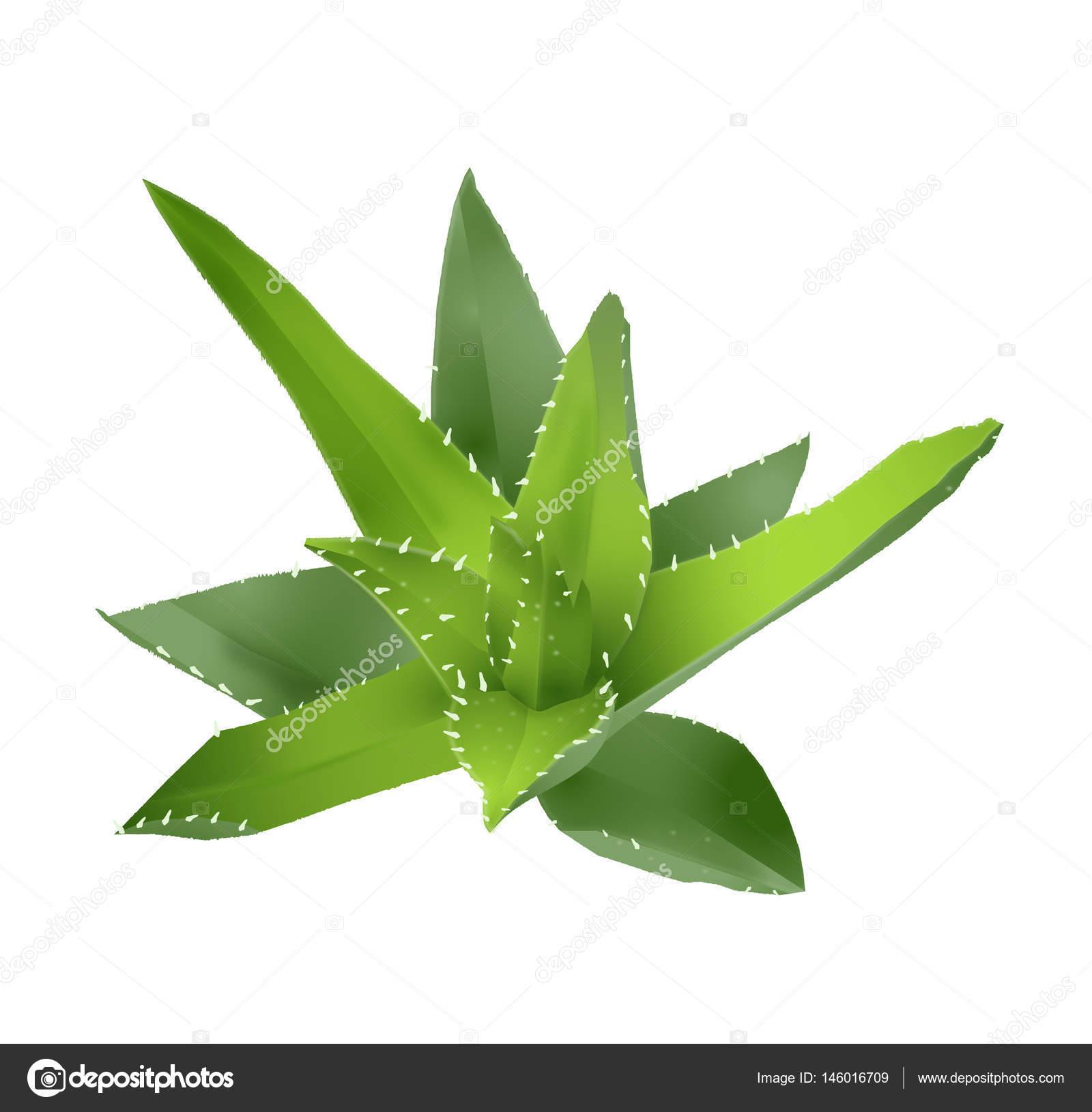 1600x1630 Vector Drawing Of An Aloe Vera Stock Vector Lightlada