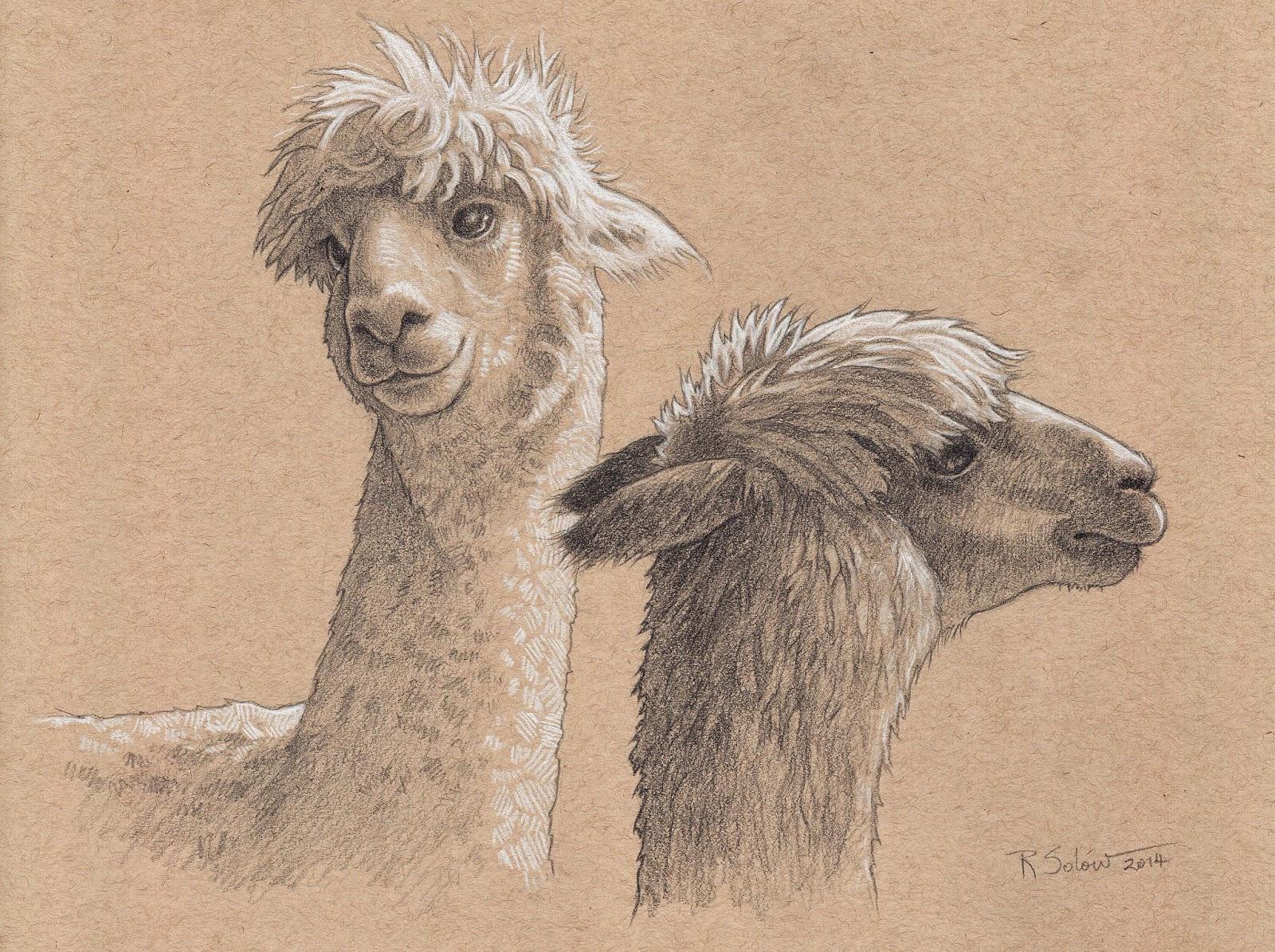 1600x1195 Alpaca Drawing