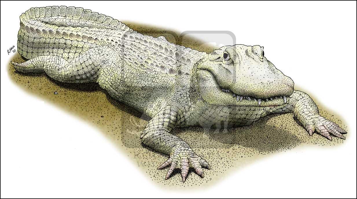 1234x688 Albino American Alligator (Alligator Mississippiensis) Line Art