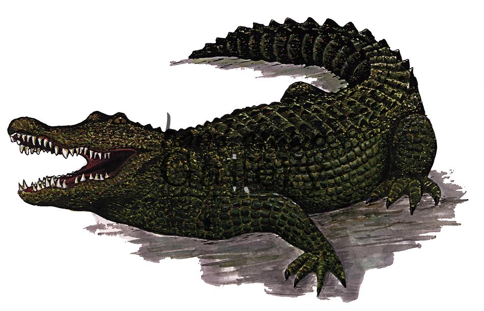 950x611 Alligator (Color)