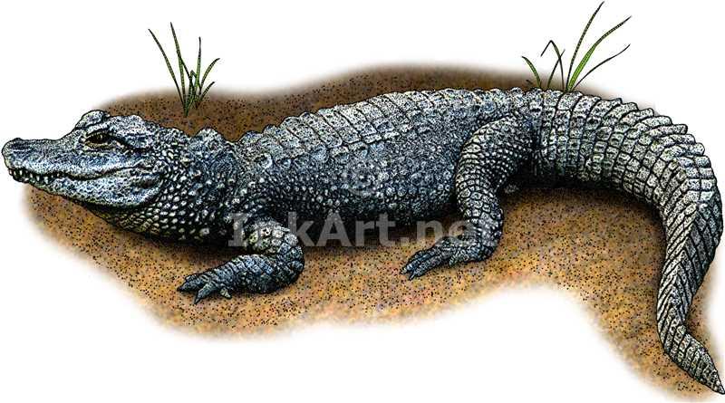 800x445 Color Illustration Of A Chinese Allgator (Alligator Sinensis