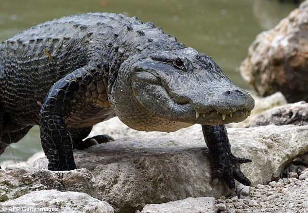 634x438 Researchers Say The American Alligator Is 6 Million Years Older