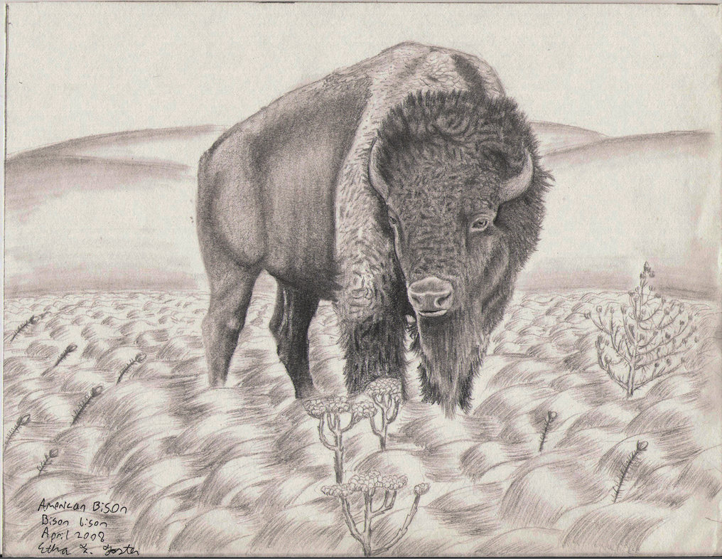 1016x786 American Bison Drawing Aka Buffalo By Et Foster