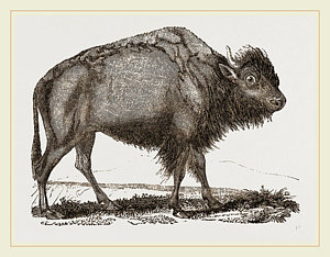 300x234 American Bison Drawing By Litz Collection