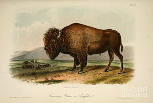 300x201 American Bison Drawings Fine Art America