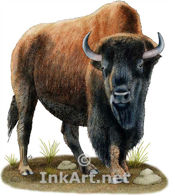 563x650 American Bison Stock Art Illustration