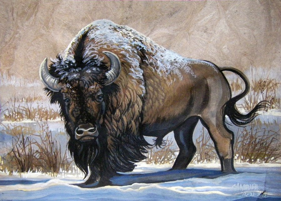 900x644 American Bison Winter By Houseofchabrier