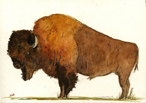 570x404 American North Bison Buffalo Study Wildlife Color Animal Drawing
