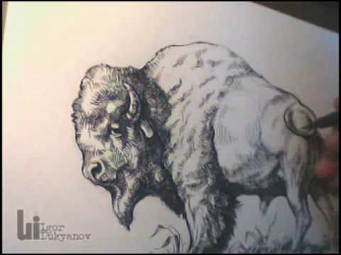 480x360 Drawing An American Buffalo (Bison) By Igor Lukyanov