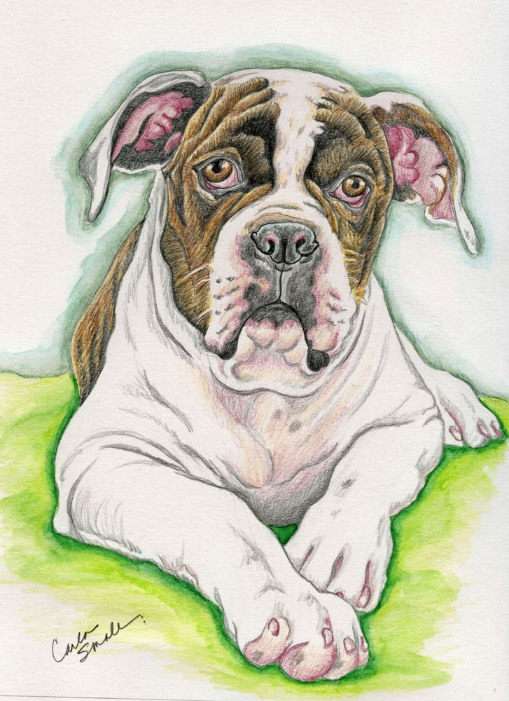 727x1000 American Bulldog Dog Art Original Pencil Drawing 7 X 9 Carla