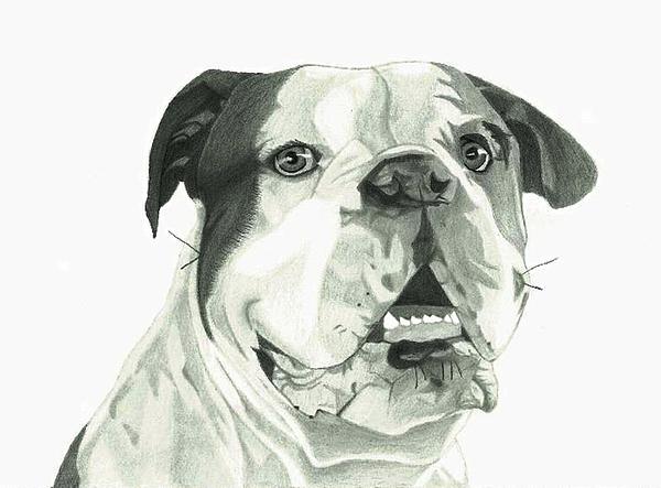 600x443 American Bulldog Drawing By Matthew Moore