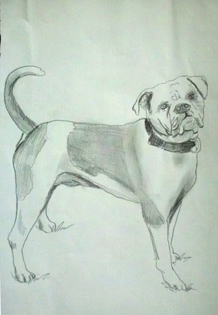 442x640 My Unfinished Drawing Of An American Bulldog. I Drew This