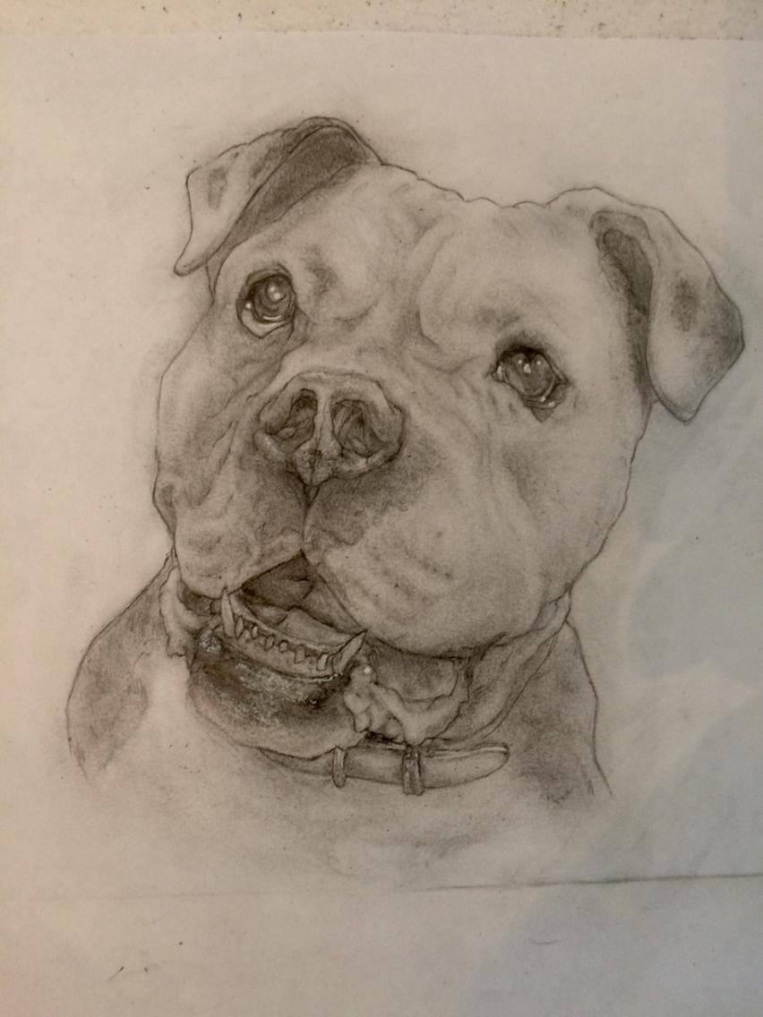 852x1136 Portrait American Bulldog Pencil Drawing
