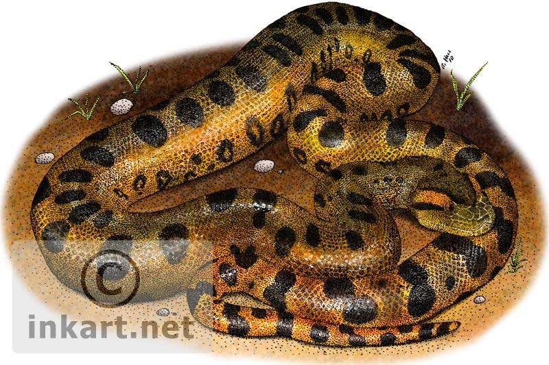 800x533 Green Anaconda (Eunectes Murinus) Stock Art Illustration