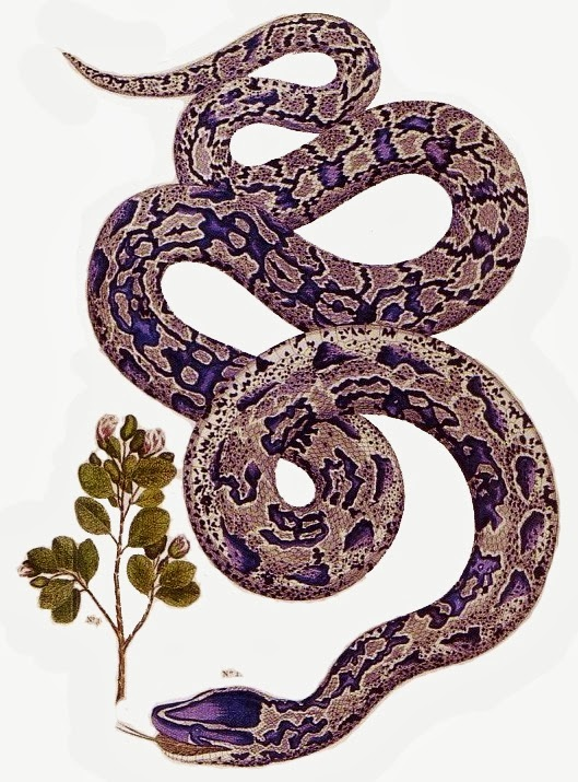 529x715 Anaconda Drawing In Style Of Plant Drawings Snakes