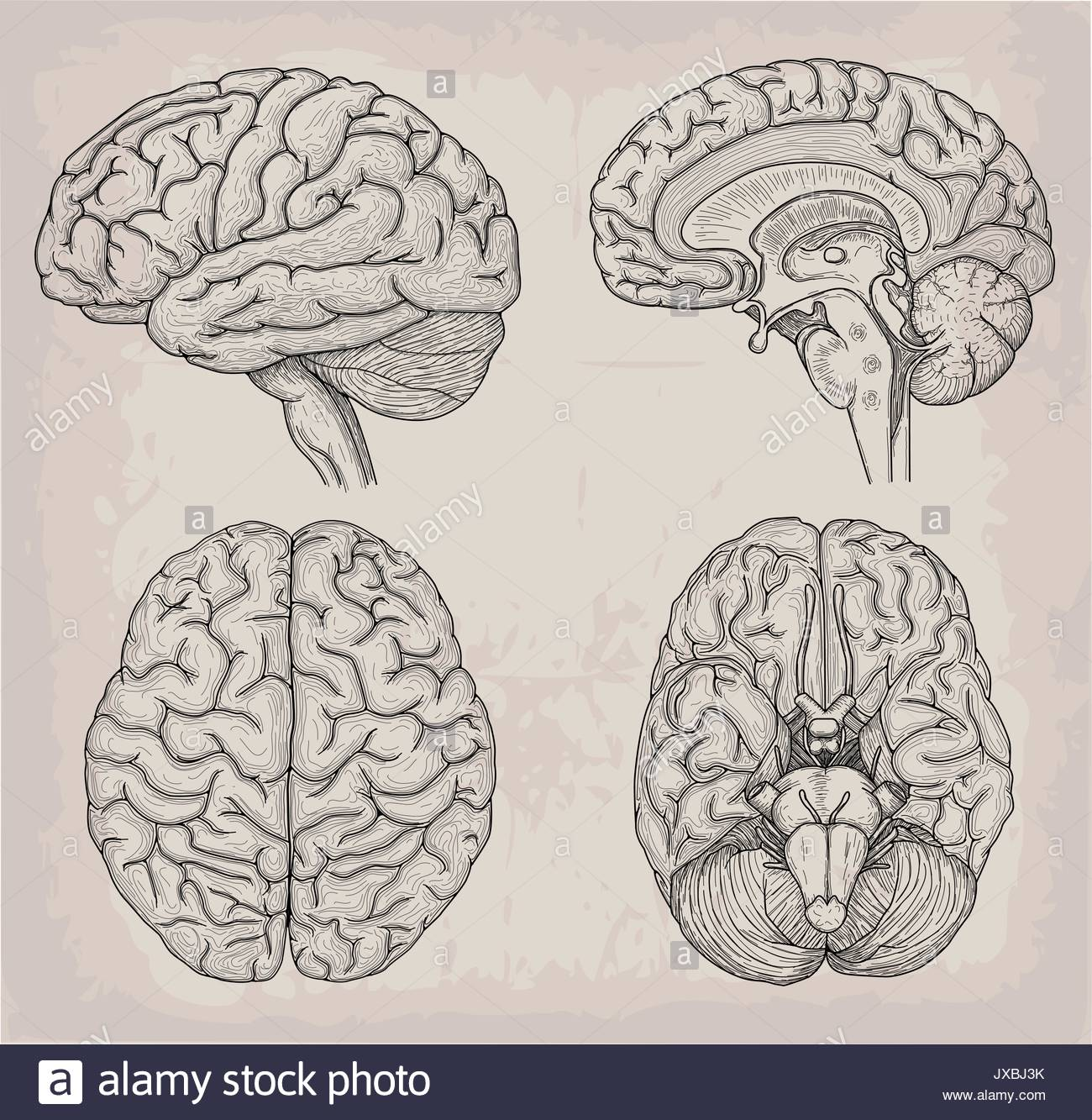 Anatomical Brain Drawing at GetDrawings.com | Free for personal use ...