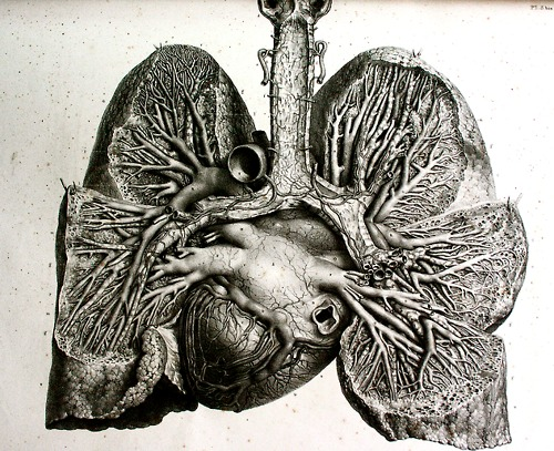 500x407 Anatomical Drawing Heart And Lungs