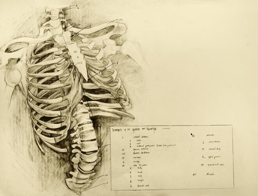 1025x780 Anatomical Drawing 01 Ribcage By Niitsvee