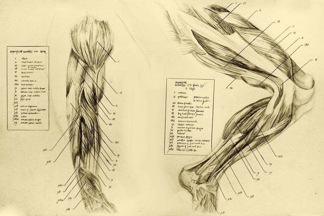 1094x730 Anatomical Drawing 06 Muscles Of The Leg By Niitsvee