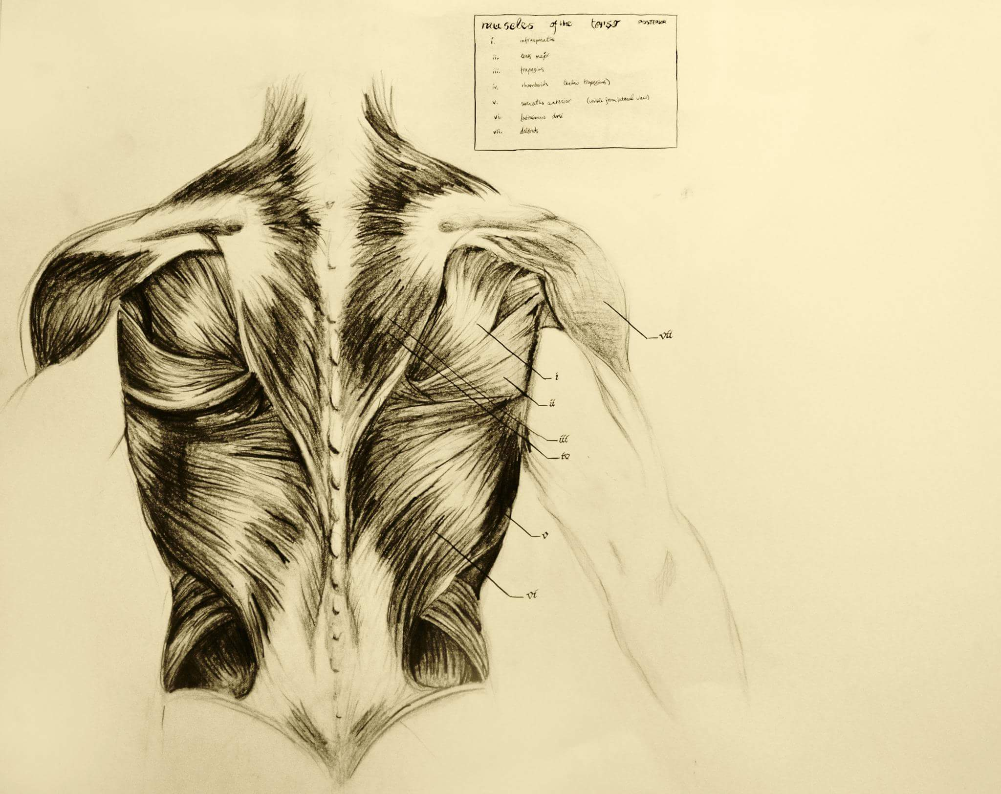 Anatomical Drawing at GetDrawings.com | Free for personal use ...