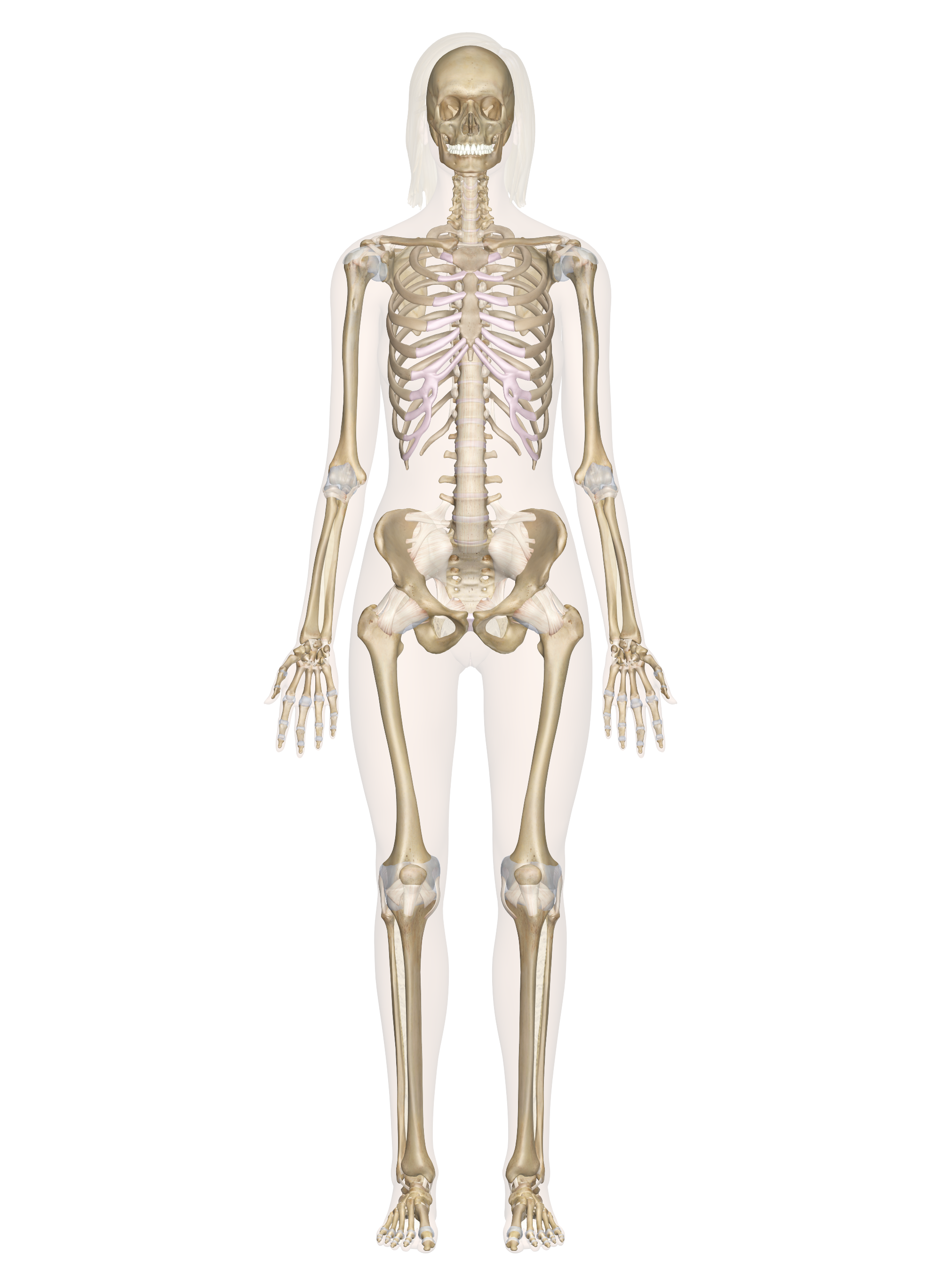 2000x2737 Skeletal System Labeled Diagrams Of The Human Skeleton