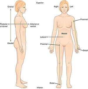 300x303 Standard Anatomical Position