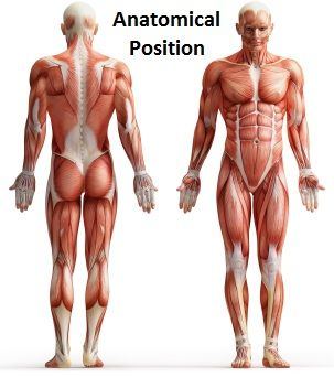 303x342 The Anatomical Position Refers To A Person Standing Upright