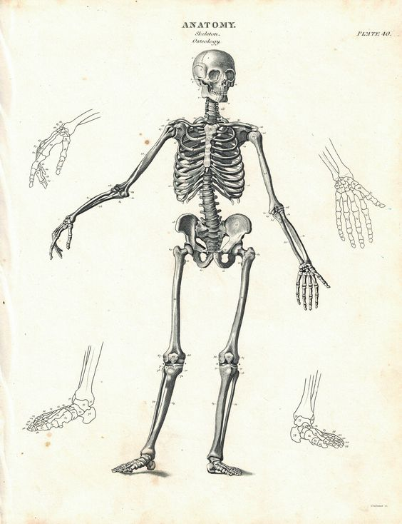 Anatomical Skeleton Drawing at GetDrawings.com | Free for personal ...