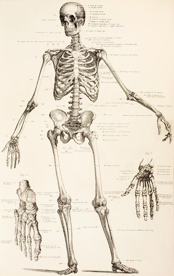 568x900 The Human Skeleton Drawing By English School