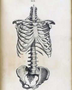 240x300 Vintage Medical Anatomical Anatomy Skeleton Illustration Real