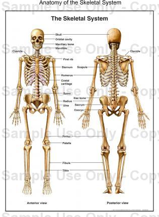 316x432 Human Anatomy Skeletal System Anatomy Of The Skeletal System