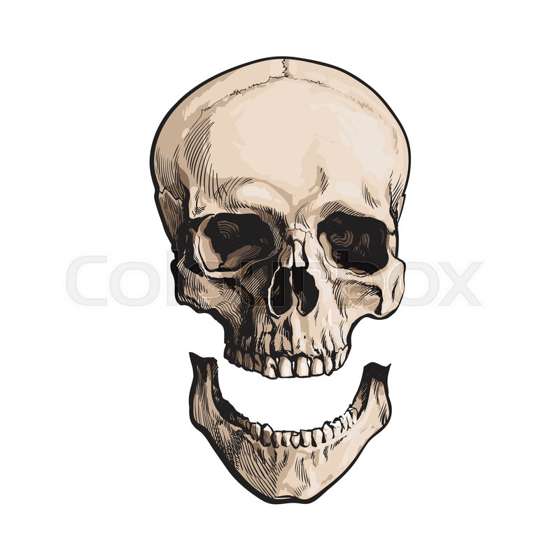 800x800 Hand Drawn Human Skull, Anatomical Model With Separated Lower Jaw
