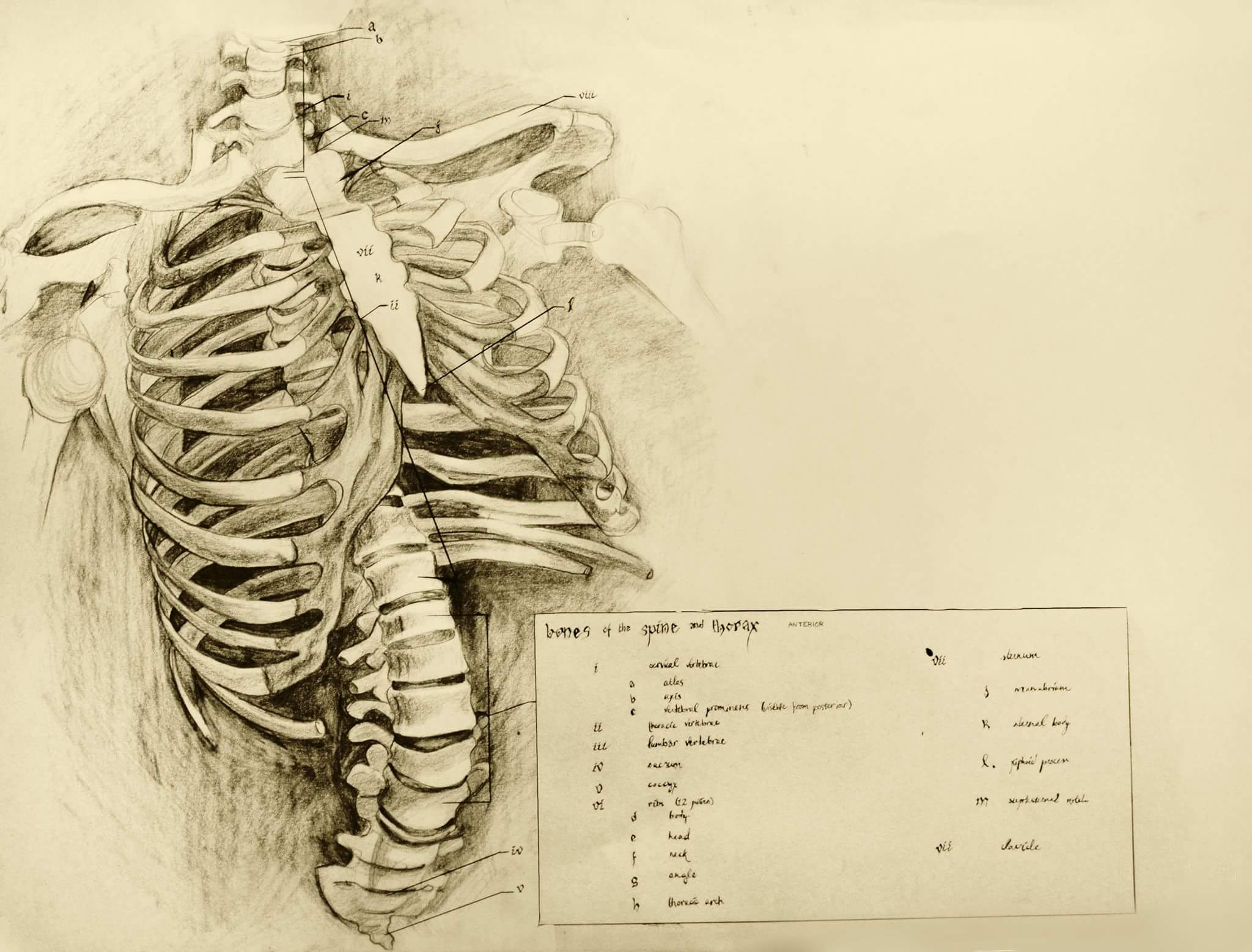 Anatomy Drawing at GetDrawings.com | Free for personal use Anatomy ...