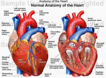432x318 Human Anatomy Diagram Best Anatomy Heart Drawing, Heart Anatomy