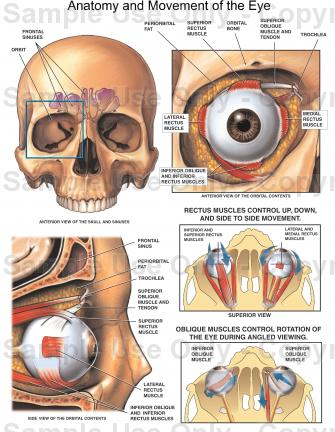 335x432 Anatomy And Movement Of The Eye