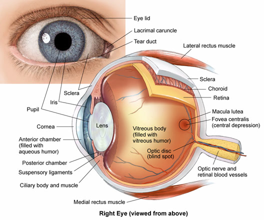 528x440 Eye Anatomy Drawing Sketch Image Illustration