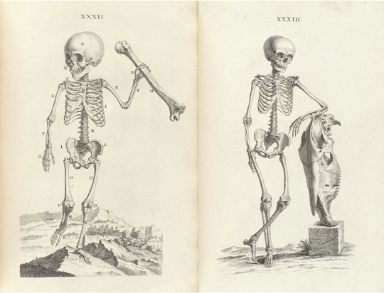 540x413 Accuracy And Elegance In Cheselden's Osteographia (1733)