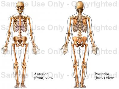 400x300 Skeletal System Male