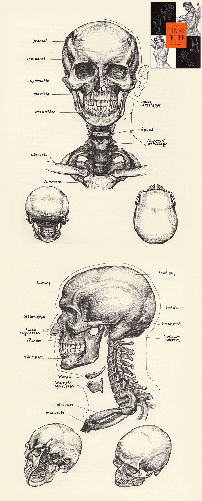 800x1985 The Human Figure By David K.rubins The Skull Drawing Skull