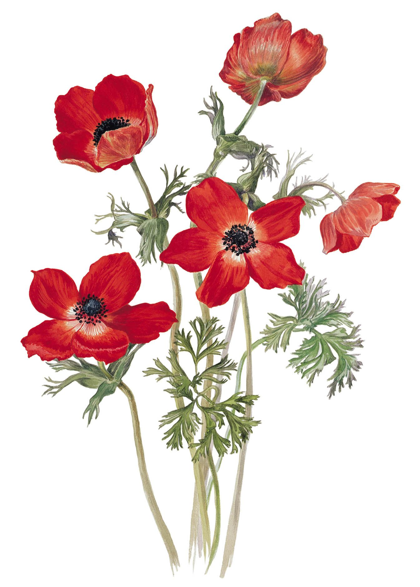 1346x1879 A Drawing Of The Poppy Anemone (Anemone Coronaria Var.phoenicia