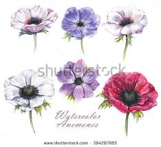 235x215 Image Result For White Anemone Drawing Tattoos