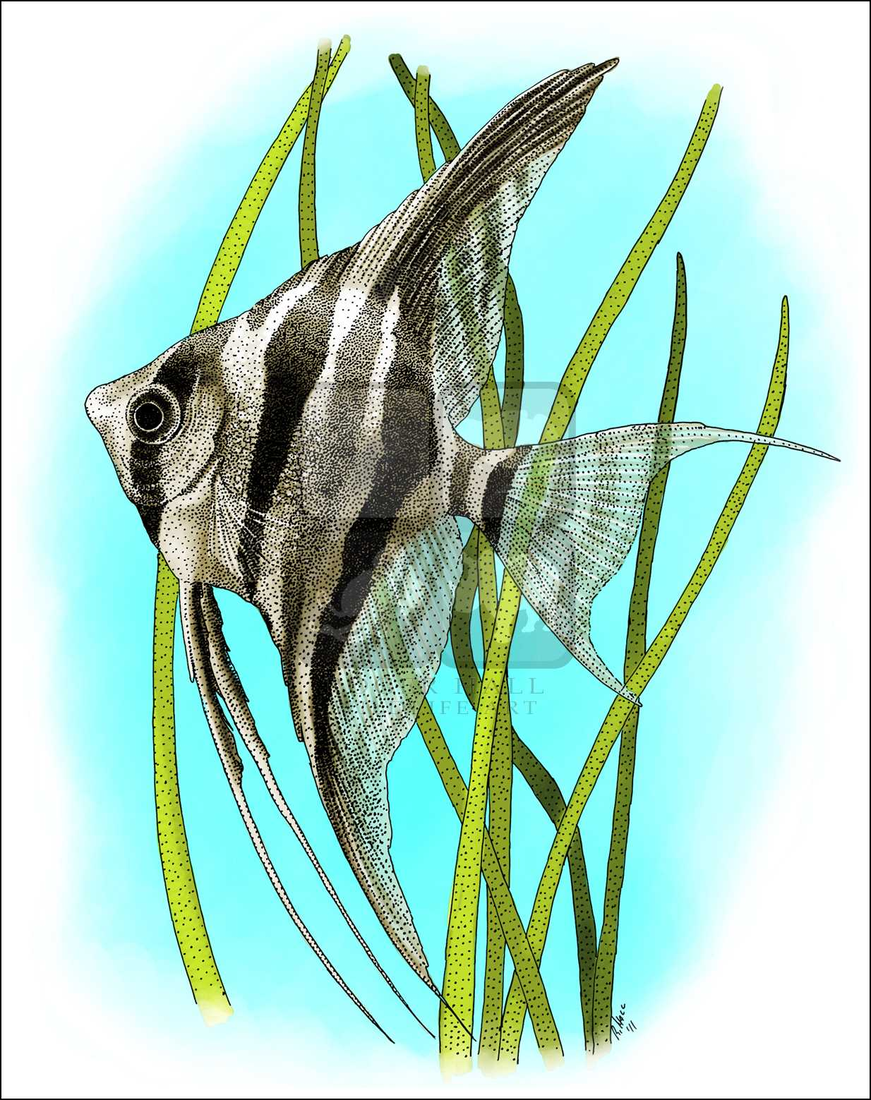 1234x1559 Just Arrived Angel Fish Drawing Speed How To Draw A Youtube