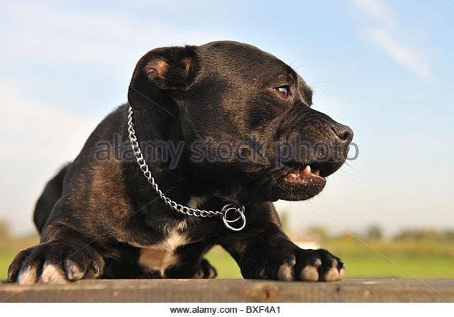640x447 Pitbull Dog Teeth Stock Photos Amp Pitbull Dog Teeth Stock Images