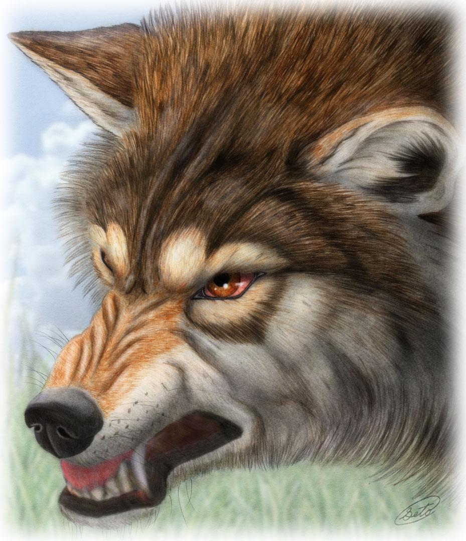 929x1080 Wolf By Sheltiewolf