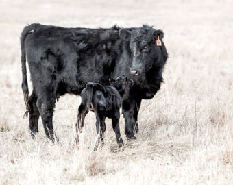 340x270 Black Angus Cattle Etsy