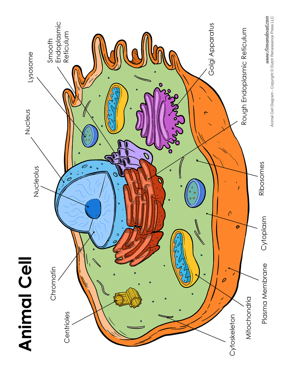 Animal Cell Drawing At Free For Personal Use Plants Cells Diagram 927x1200