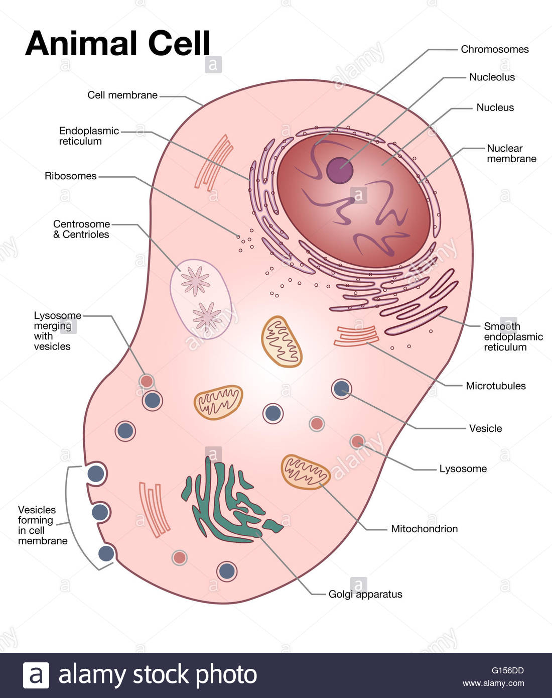 Animal cell drawing at getdrawings free for personal use 1100x1390 animal cell drawing labeled diagram of a typical animal cell with ccuart Images